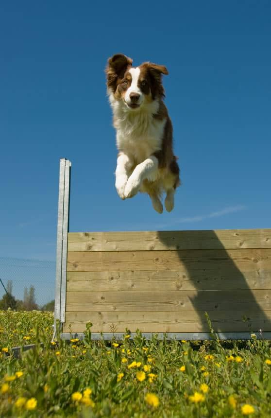 What Does Australian Working Dog Rescue Mean
