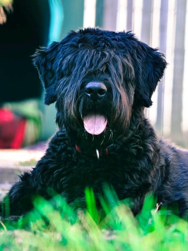 bouvier des flandres protection dog