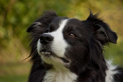 working dog border collie