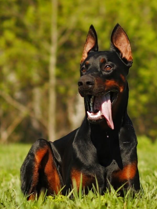 doberman protection dog for sale