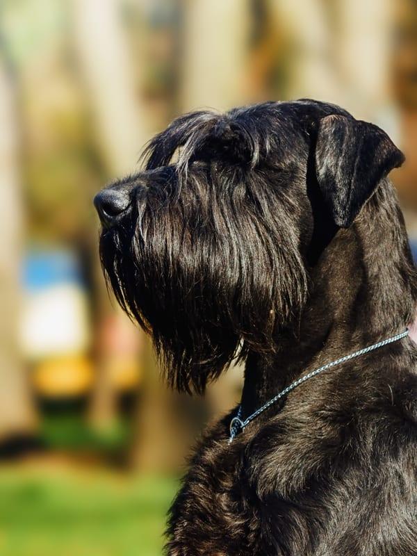 giant schnauzer protection dog