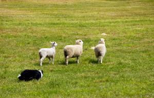 herding dog class