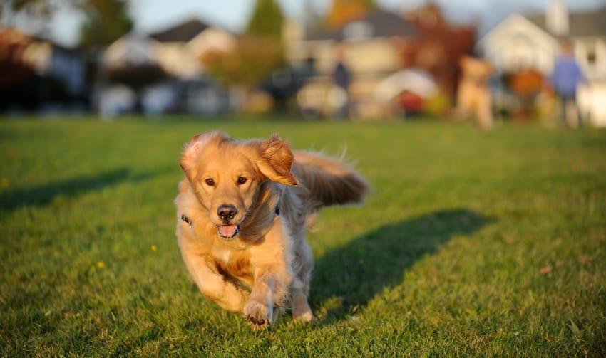 dog escape artist running away