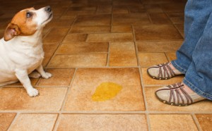 dog housebreaking problem