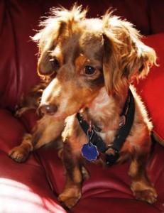 fearful dachshund