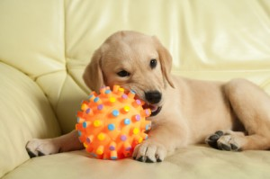 puppy chewing destructive dog behavior