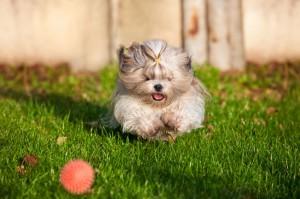 dog training shih tzu
