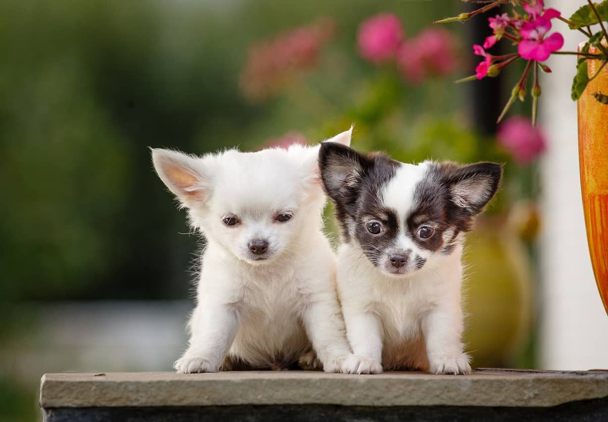 About The Breed Chihuahua Highland Canine Professional Dog Training Solutions
