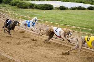 Greyhound Racing Has Been a Part of the Breed History for Centuries