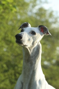The Greyhound Breed are known for their speed and agility