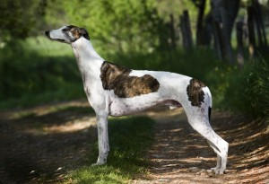 The Greyhound Breed are fairly docile in nature