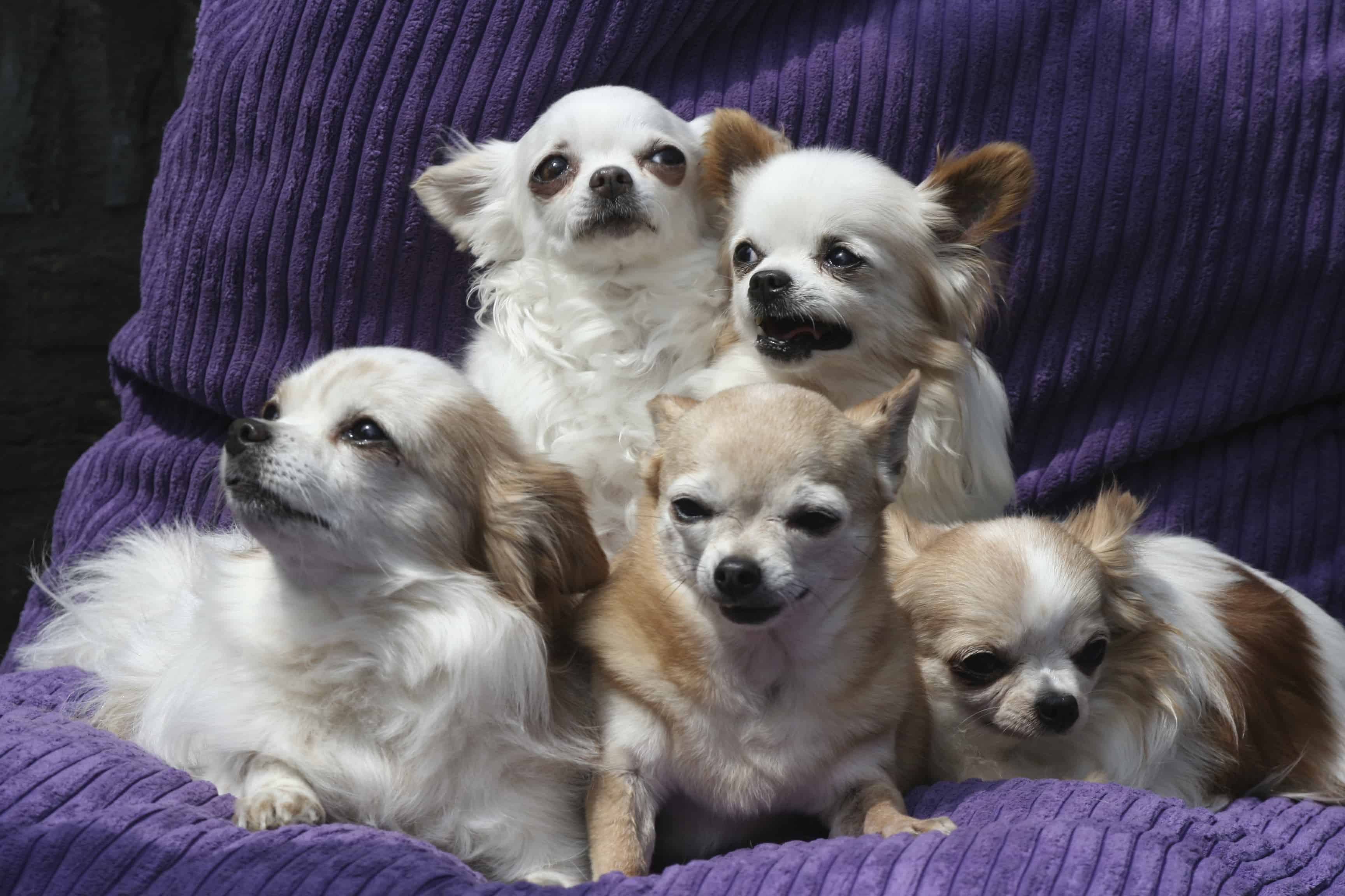 Chihuahuas come in coats of short and long hair