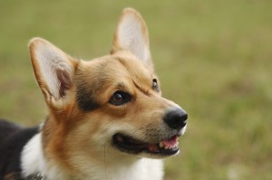The Pembroke Welsh Corgi is an active and friendly breed