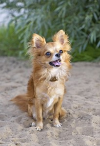 Chihuahuas with long hair require slightly more upkeep than short-haired chihuahuas