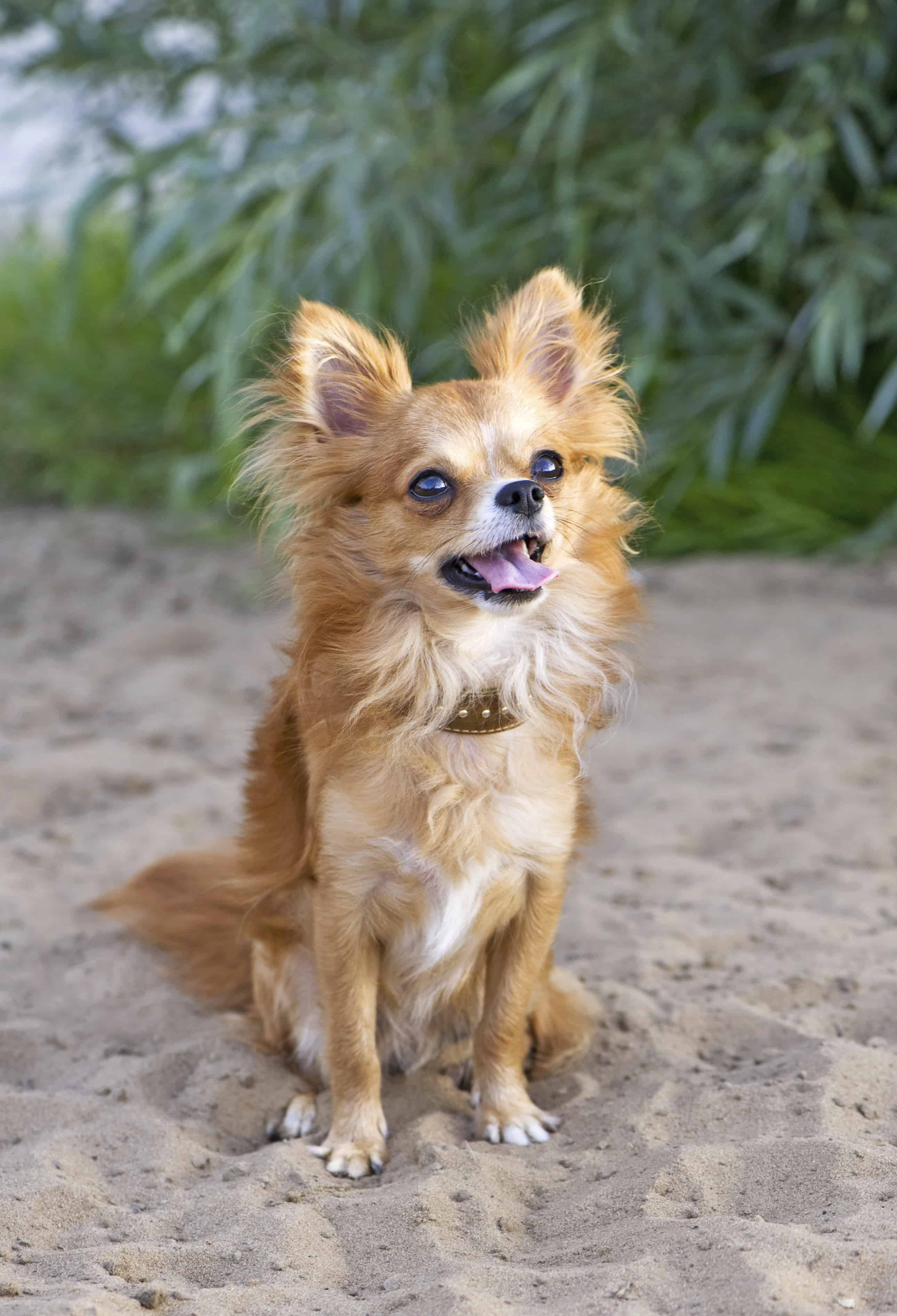 Chihuahuas With Long Hair Require Slightly More Upkeep Than Short Haired