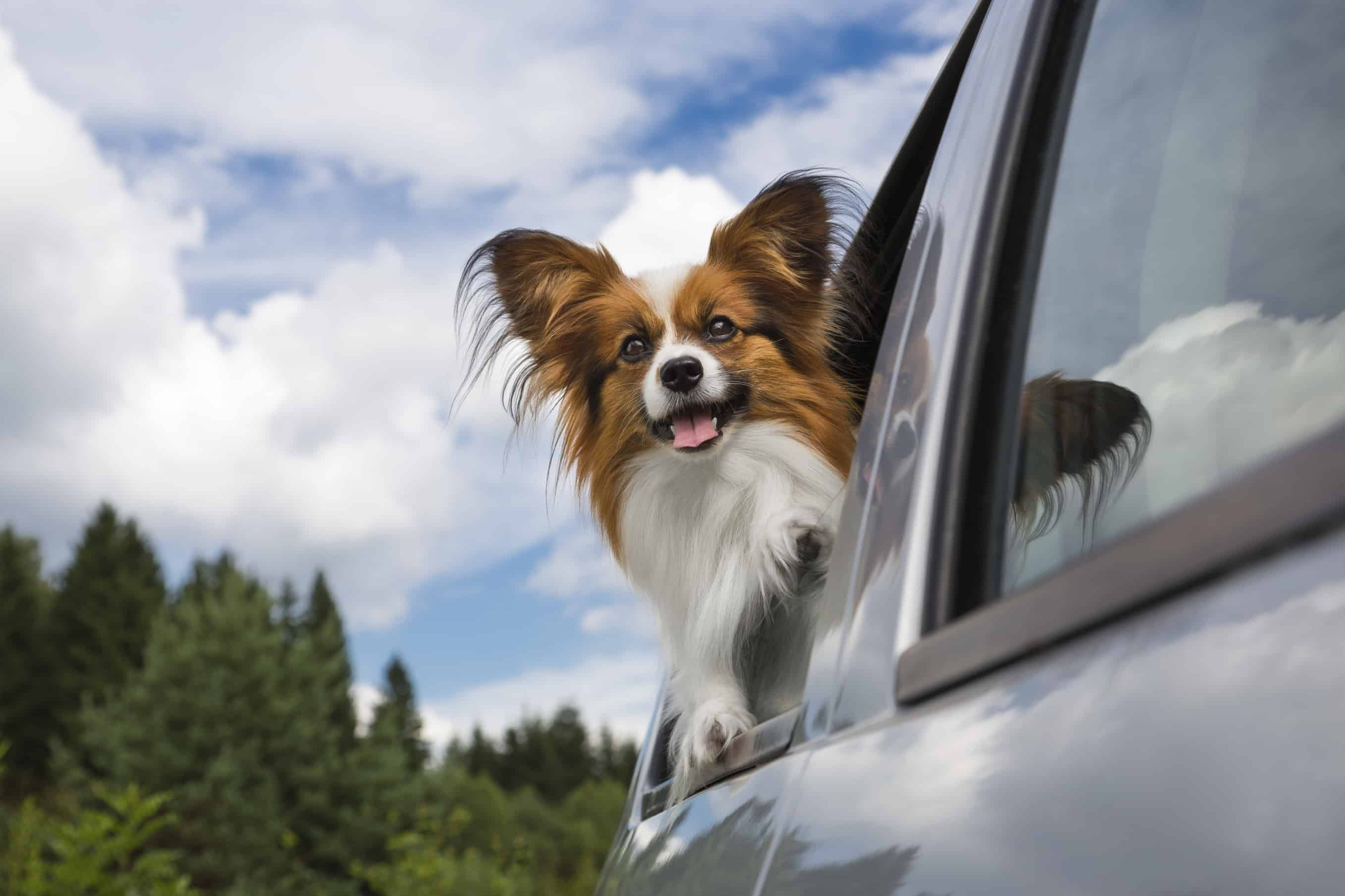 Make sure your dog is comfortable and safe while traveling