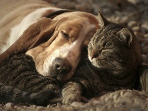 Basset Hounds are good with other animals