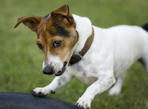 jack russell being trained in detection