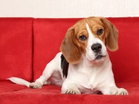 All about the Beagle