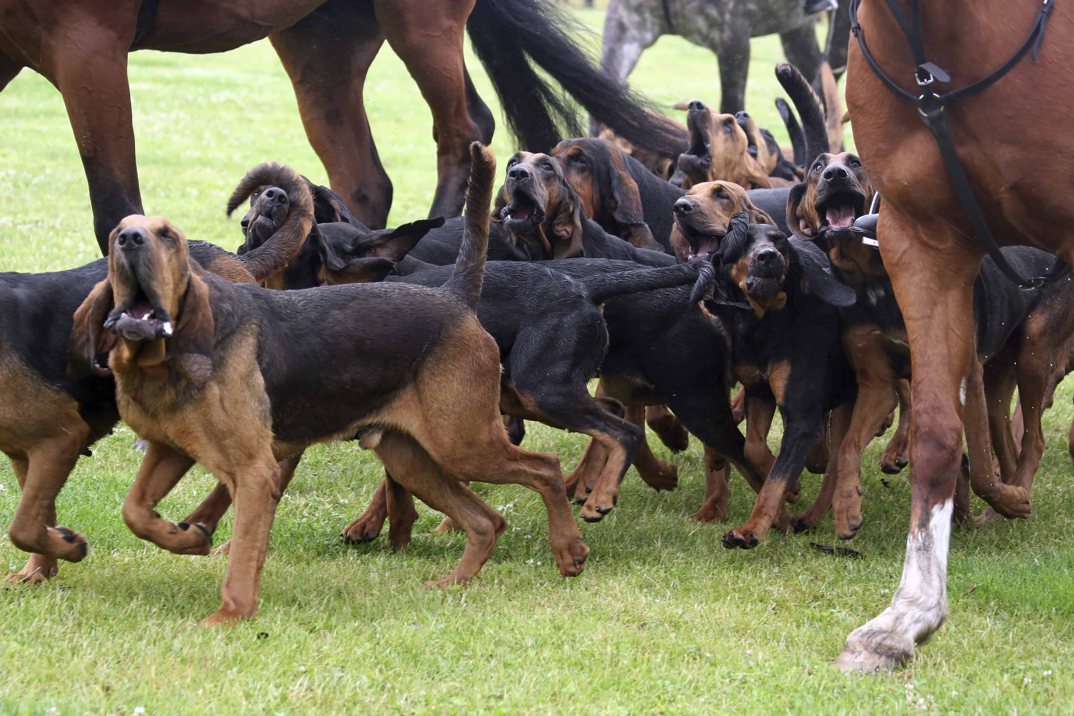 Bloodhounds are energetic, focused trailing dogs