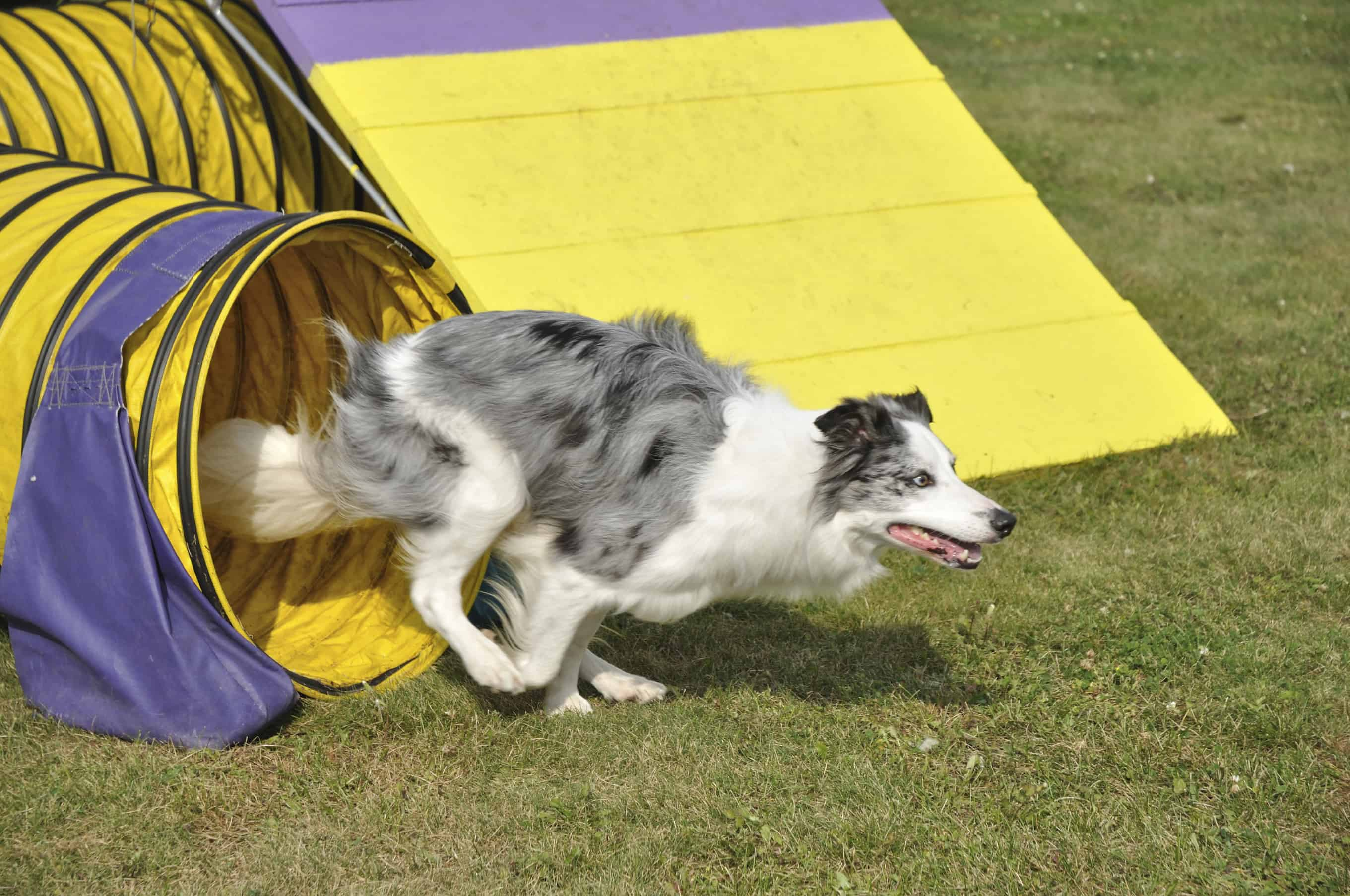 Two Popular Canine Sports Your Athletic Dog Will Love