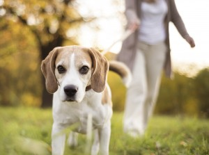 Helpful hints on maintaining your Beagle