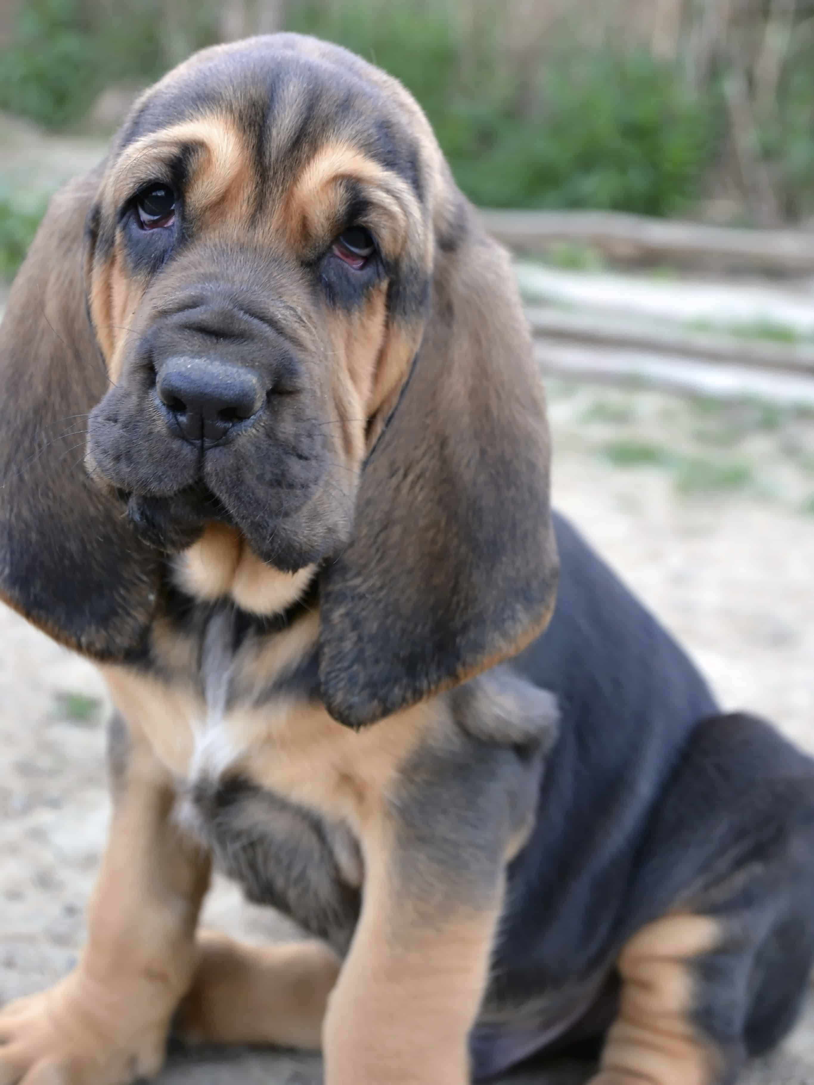 About The Breed Bloodhound Dog Training Police K9 Dog