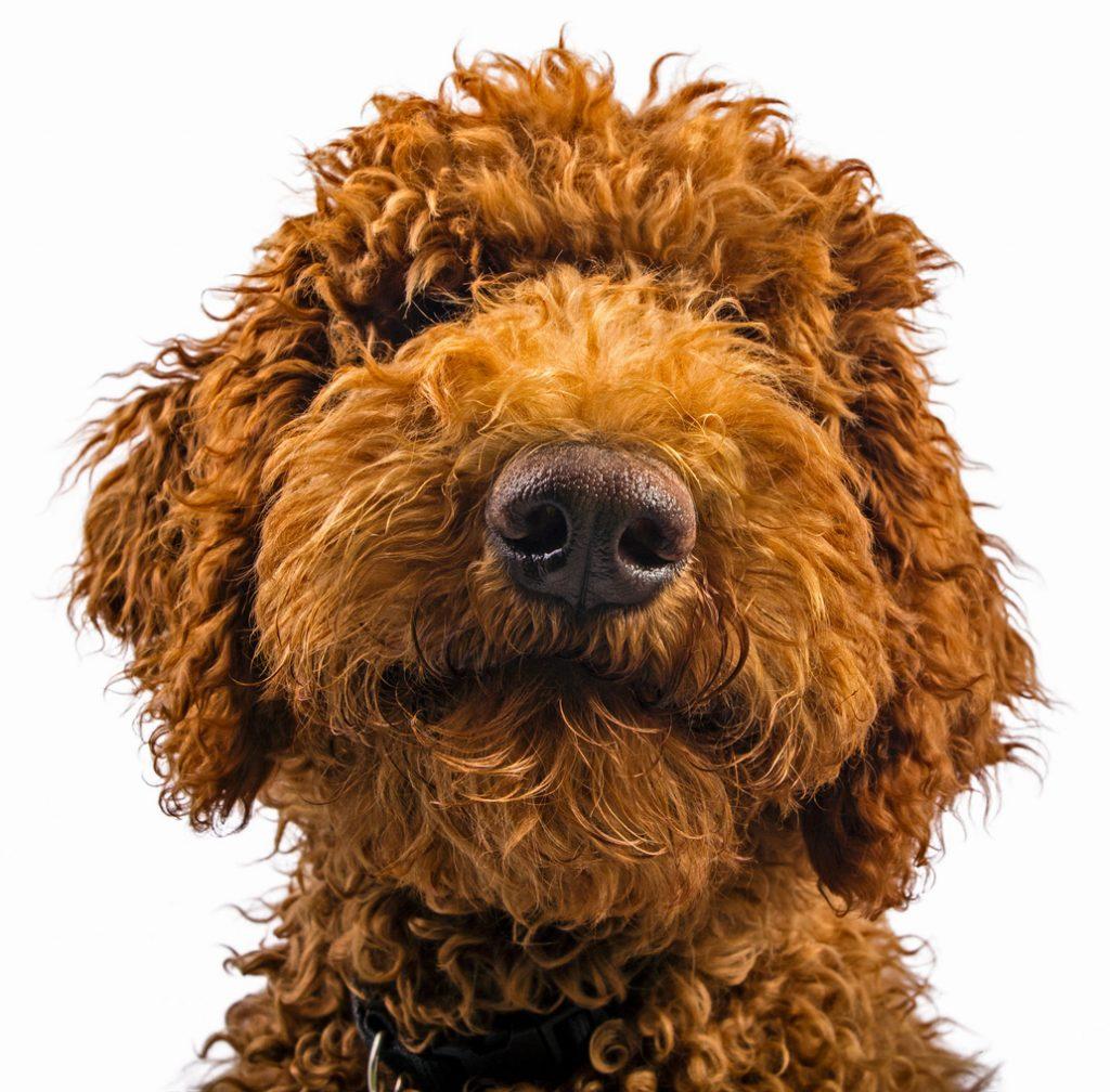service dog labradoodle