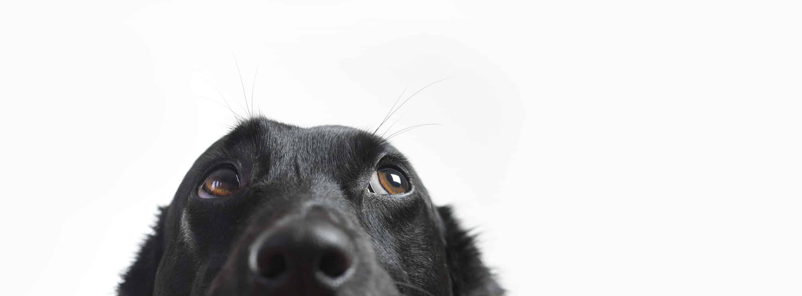 does black dog syndrome really exist