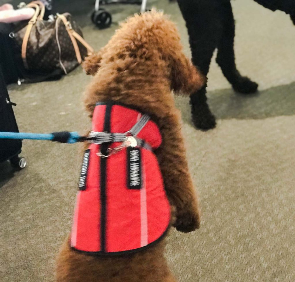 fake service dog in airport