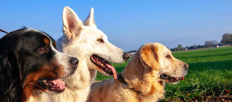 top 50 dog breeds in the world