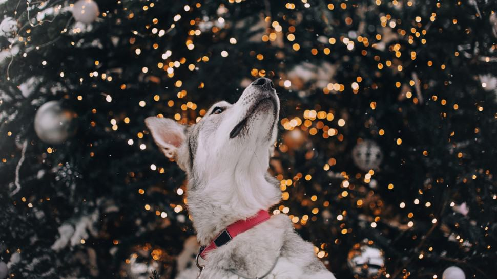 dog at christmas