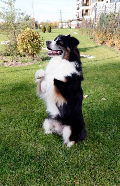 australian shepherd sitting on two legs