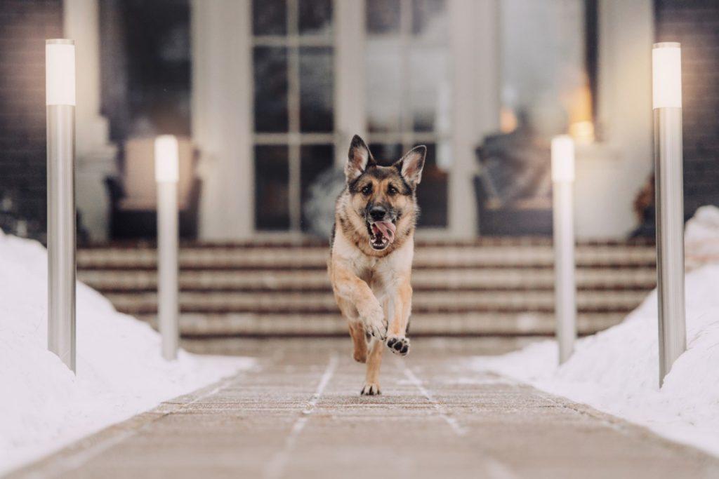german shepherd protection dog