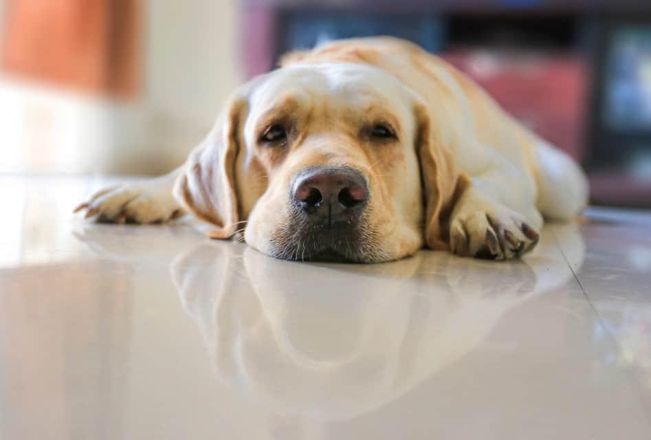 labrador on kitchen floor