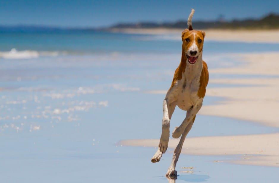 azawakh dog