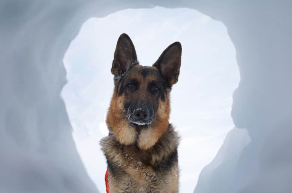 dog rescuing person from avalanche