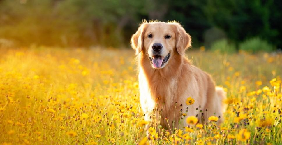 golden retriever in field of flowers