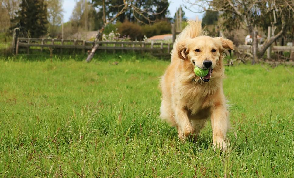 golden retriever with tennis ball in mouth