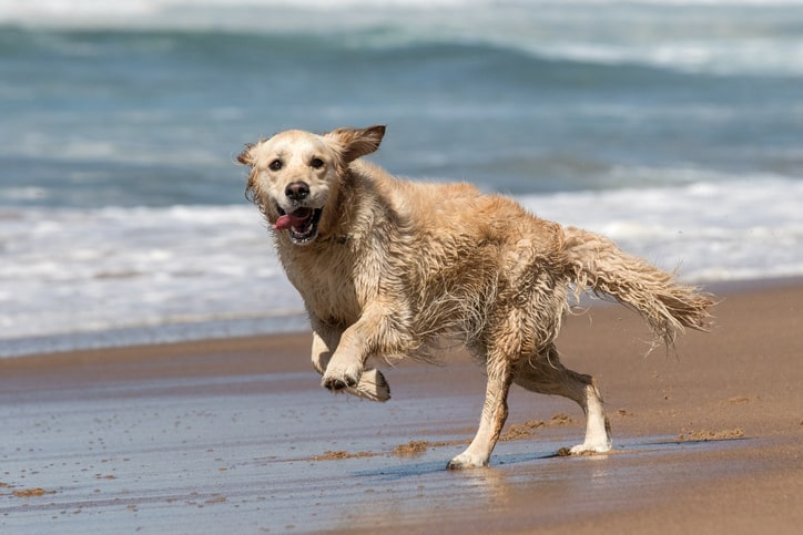Golden Retriever running at the beach