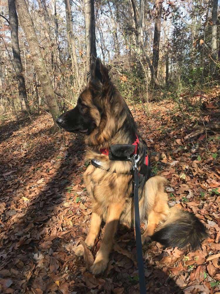 delilah black and tan german shepherd
