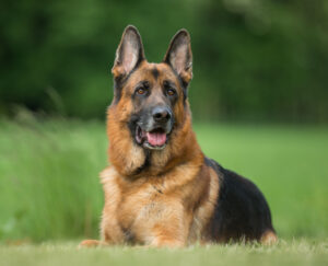 german shepherd outdoors in the grass