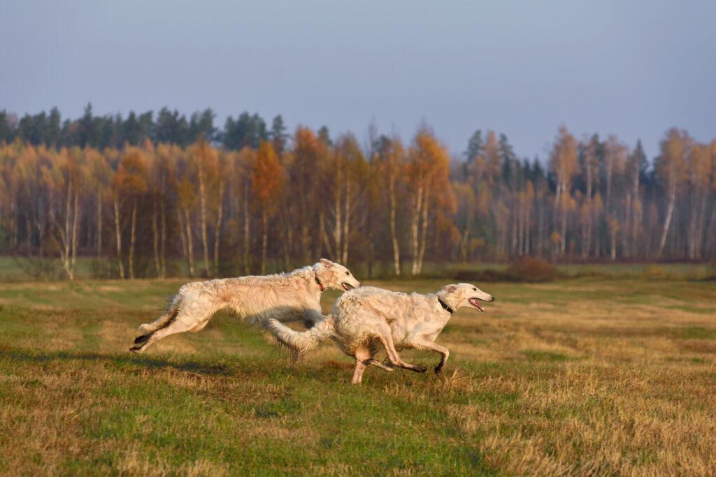 borzoi dogs running