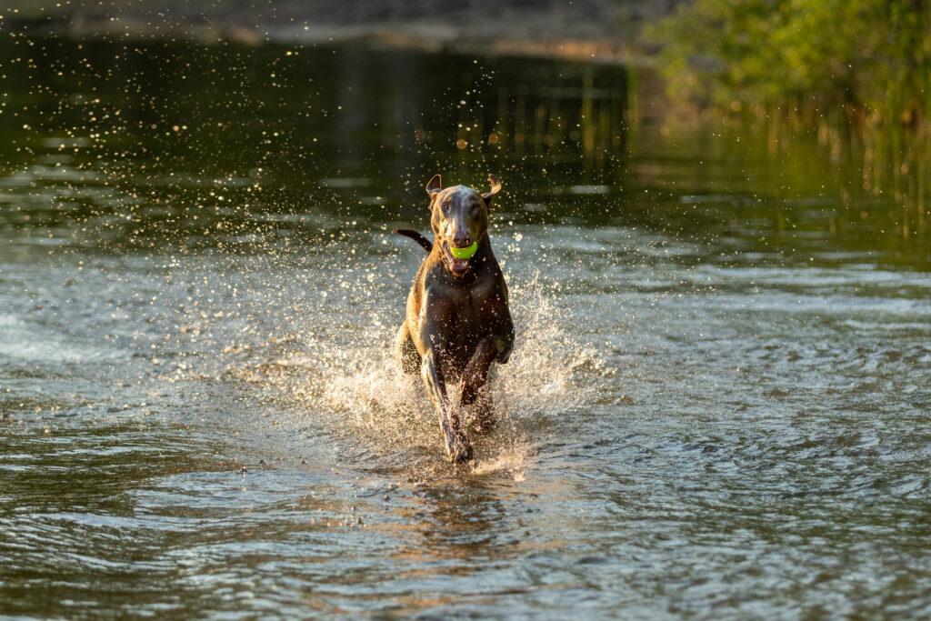 doberman running through water