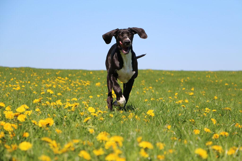 great dane running in field