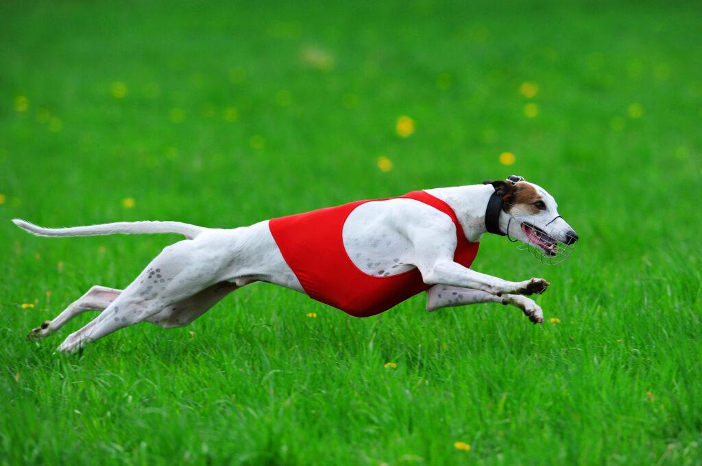greyhound running through field