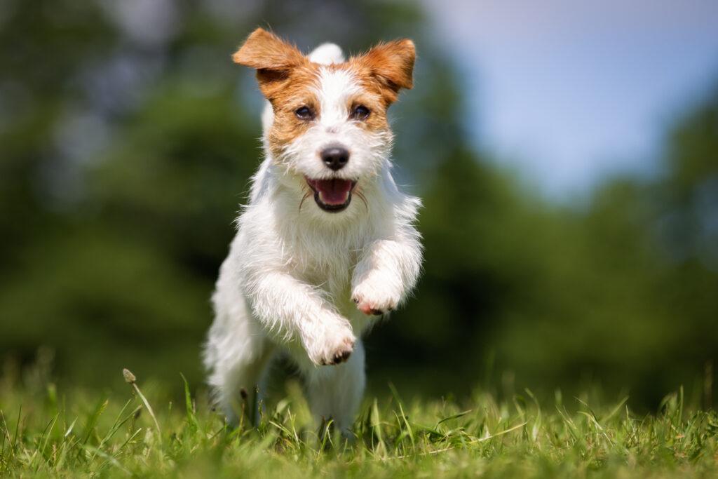 jack russell terrier running in field