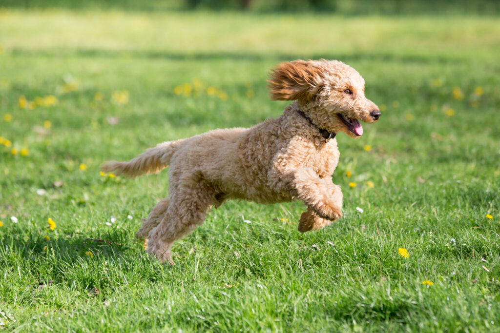 poodle running in field