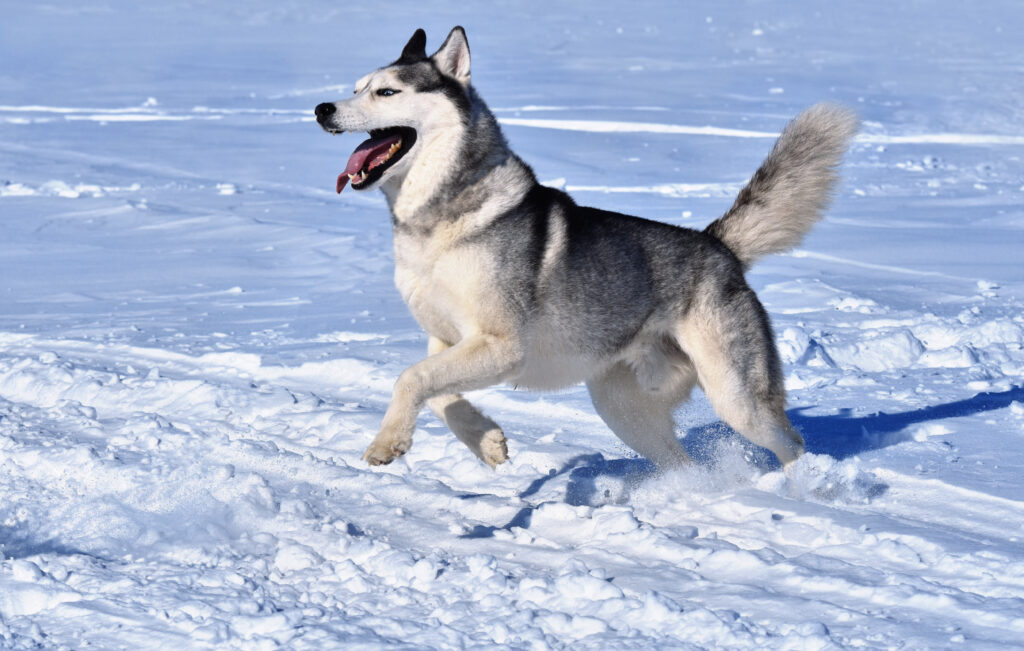 siberian husky running and playing in the snow