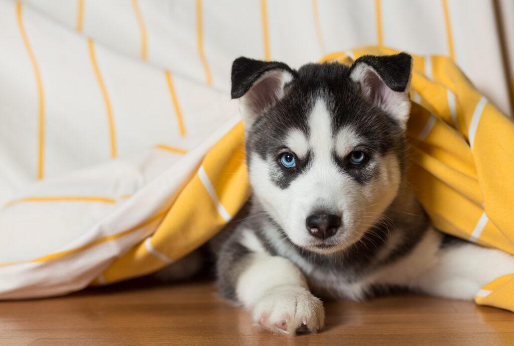 siberian husky under blanket